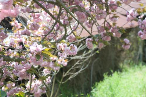 やまのねっこの家の八重桜