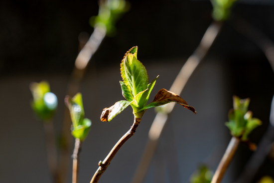 あじさいの芽