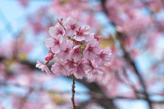 呉市下蒲刈県民の浜の河津桜