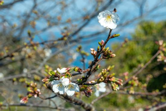 呉市長谷町の桜
